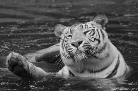 White Tiger waves