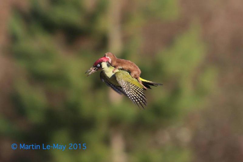 weasel-riding-woodpecker